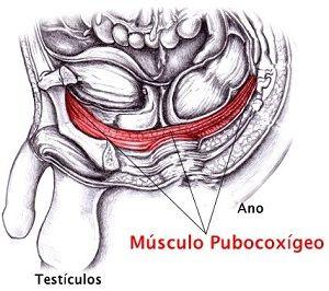 exercitar o músculo pubocoxigenado